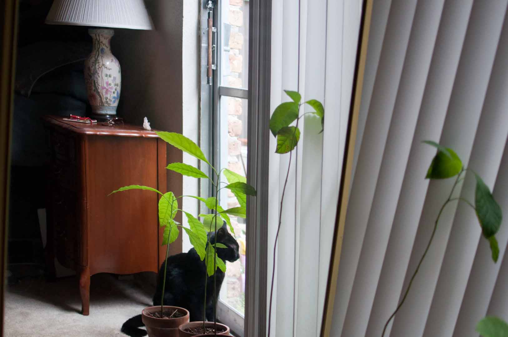 how to grow an avocado tree from a seed likely by sea. Black Bedroom Furniture Sets. Home Design Ideas