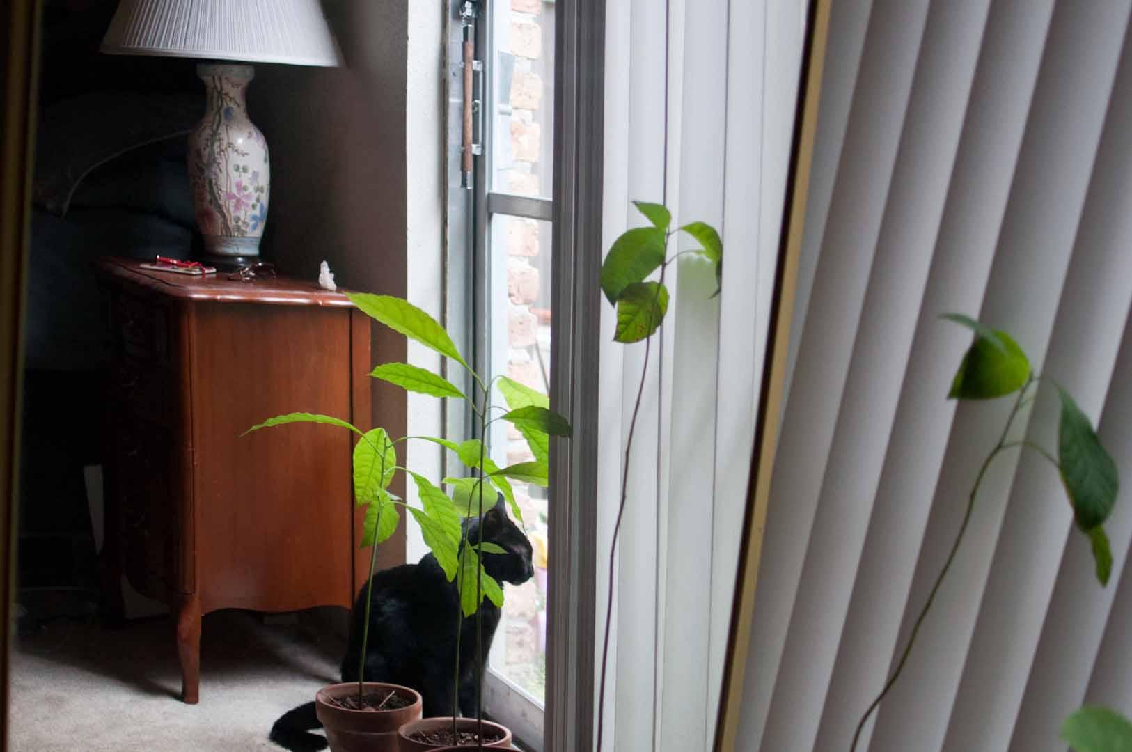 how to make an avocado seed grow