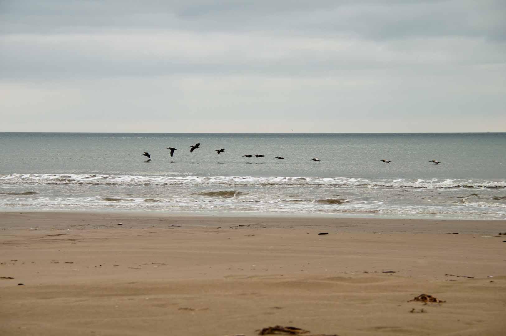 shoreline pelicans